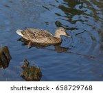 wild female duck swimming in...   Shutterstock . vector #658729768
