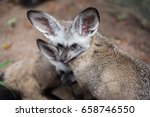 bat eared fox in the nature... | Shutterstock . vector #658746550