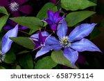 Clematis. Purple Color