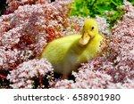 young new born yellow duck... | Shutterstock . vector #658901980