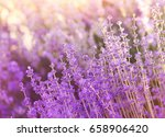 lavender bushes closeup on... | Shutterstock . vector #658906420