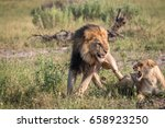 a mating couple of lions in the ... | Shutterstock . vector #658923250