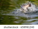 surface action of barramundi... | Shutterstock . vector #658981240
