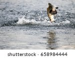 barramundi jumps into the air... | Shutterstock . vector #658984444