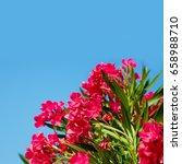 Pink Flowers Nerium Oleander O...