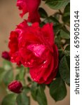 tea rose garden in the summer... | Shutterstock . vector #659050144