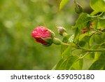 tea rose garden in the summer... | Shutterstock . vector #659050180
