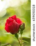 tea rose garden in the summer...   Shutterstock . vector #659050318