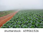 A Field Of Cabbages  Phu Tub...