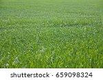 green wheat field   Shutterstock . vector #659098324
