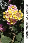 Small photo of Pink, white and yellow Lantana camara flowers. It is a small perennial shrub with smalls tubular shaped flowers which each have four petals. Type: Angiosperms. Eudicots. Asterids Lamiales. Verbenaceae