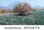 tree   agave | Shutterstock . vector #659138776