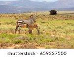 a mother zebra suckles her... | Shutterstock . vector #659237500