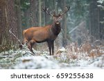 single adult noble red deer  ... | Shutterstock . vector #659255638