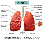 anatomy of human lungs. vector... | Shutterstock .eps vector #659273770