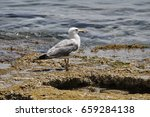 Small photo of Audouin's gull sitting on a stone by the sea shore