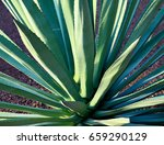 agave succulent plant.agave... | Shutterstock . vector #659290129
