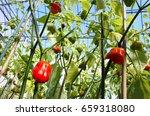 Habanero Chili Pepper Plant...