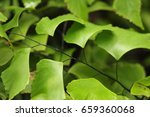 Small photo of Adiantum trapeziforme L. (giant maidenhair or diamond maidenhair)