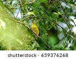Small photo of Common Iora or Aegithina Tiphia Yellow Bird in the Park