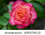 Yellow Pink Rose In A Garden