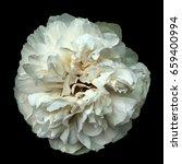 white rose isolated on black... | Shutterstock . vector #659400994