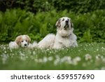 Stock photo lying great pyrenees puppy with mother 659557690