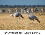 Blue cranes among herds of Buchell