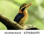 Small photo of Beautiful Adult Male Rufous -collared kingfisher ( Actenoides concerts ) sit on the tree in the nature , Sri Phang Nga National Park , Southern of Thailand