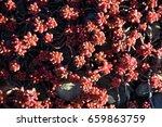 flowering succulents in pink | Shutterstock . vector #659863759