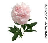 pink peony isolated on white... | Shutterstock . vector #659921470