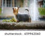 australian silky terrier   ch....