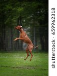 hungarian vizsla | Shutterstock . vector #659962318