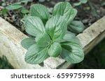 Boldo  Green Plant Named Boldo...