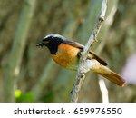 redstart   phoenicurus...   Shutterstock . vector #659976550