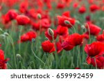 flowers red poppies blossom on... | Shutterstock . vector #659992459