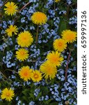 several yellow dandelions in a... | Shutterstock . vector #659997136