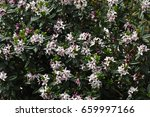 mass of pale pink flowers from... | Shutterstock . vector #659997166