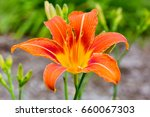 orange day lily | Shutterstock . vector #660067303