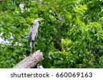 great blue heron.  this... | Shutterstock . vector #660069163
