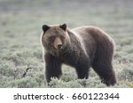 Grizzly Bear Ursus Arctos Horribilis - Fine Art prints