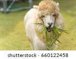 White Alpaca Is Eating Grass
