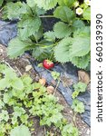 Small photo of Weeds parasites pests, dandelion, in strawberry plants before herbicide, weedkiller, weed whacker