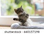 Stock photo british shorthair kitten 660157198