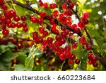 Background Of Red Currant. ...