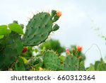 green pads on a prickly pear... | Shutterstock . vector #660312364