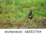 A Red Wattled Lapwing Bird...