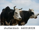 Two Black And White Cows In A...
