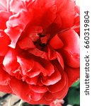 red rose in bloom | Shutterstock . vector #660319804