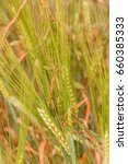 organic wheat growing in the... | Shutterstock . vector #660385333